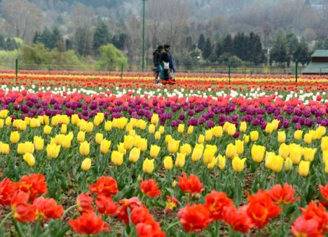 Kashmir to host Tulip Festival to promote tourism from April 3