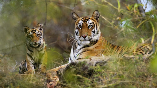 Tourism in MP gets a boost! Now enjoy night safaris in three national parks